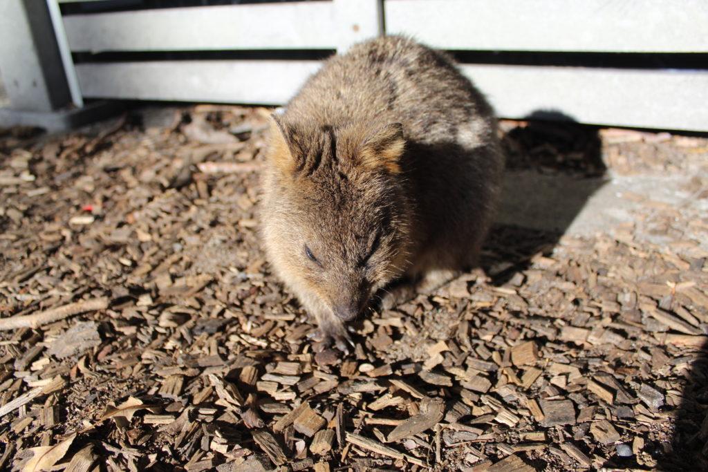 Ver Quokkas en Australia