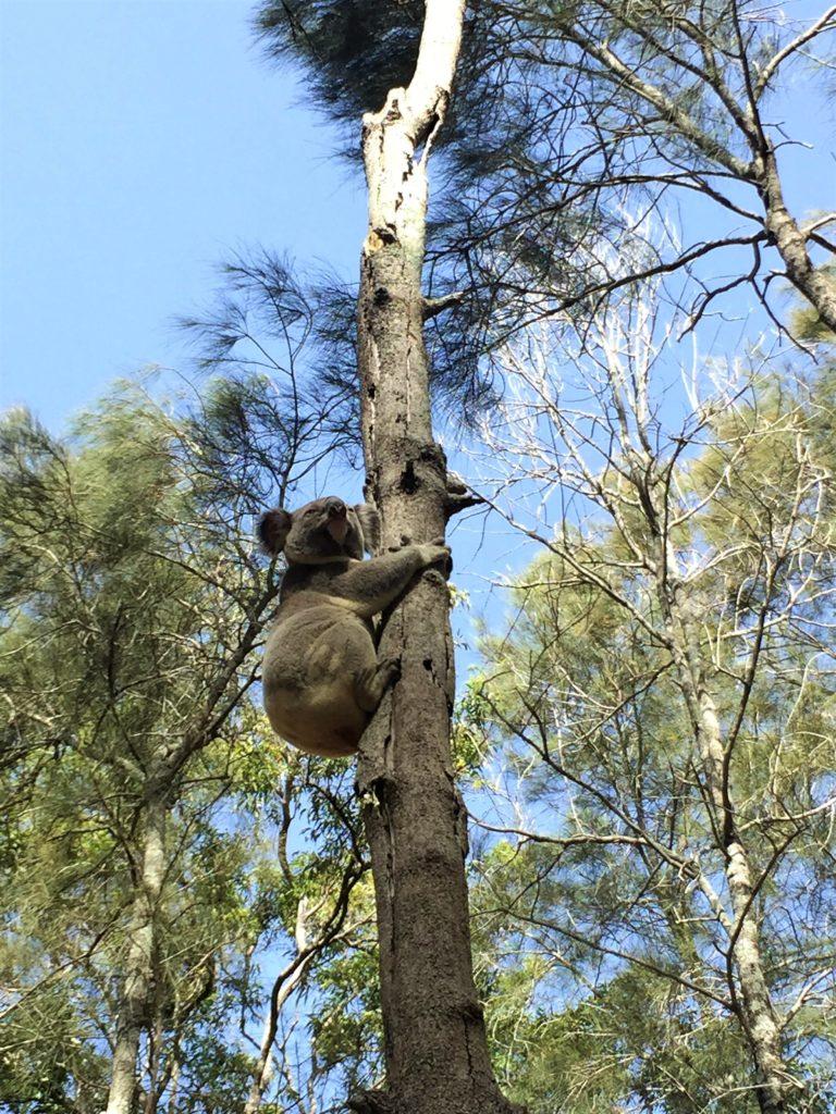 Animales de Australia donde ver Koalas