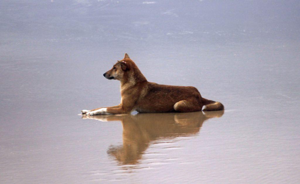 donde ver dingos en Australia