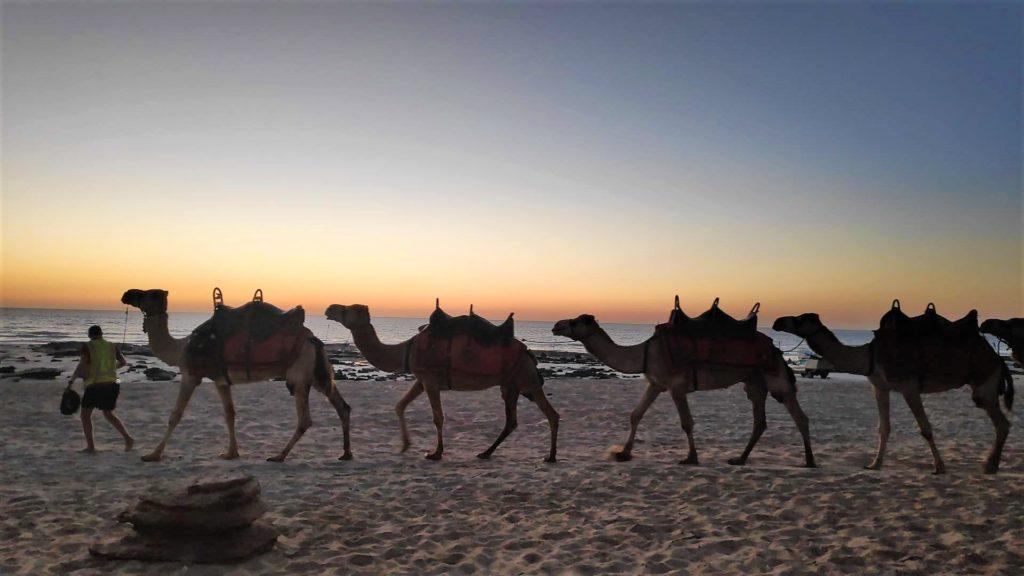 Donde ver camellos en Australia